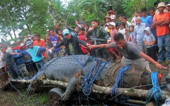 Monster 21-foot crocodile captured!